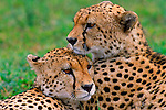The brotherly bond shared between these two cheetahs is one that will last their lifetime. Serengeti National Park, Tanzania.