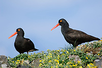 Mated pair of adult Black Oystercatchers (Haematopus bachmani). St. Lazaria Island, Alaska. June.