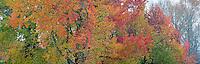 Sweet Gum trees in autumn, Washington