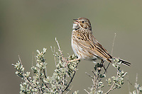 Adult male Vesper Sparrow (Pooecetes gramineus) singing from sagebrush. Douglas County, Washington. April.