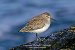 Dunlin, Calidris alpina,  in Nonbreeding Plumage