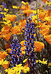 California poppies, lupine and goldfields
