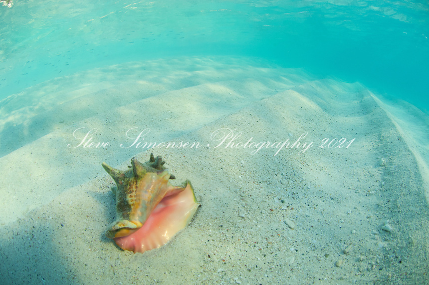 Conch shell in the sand<br />