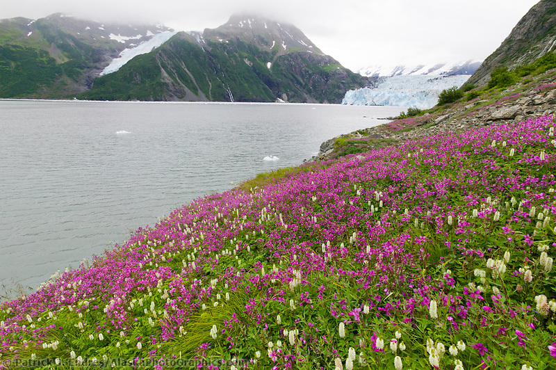Dwarf fireweed, surprise glacier, Harriman Fjord, Prince William Sound, Alaska