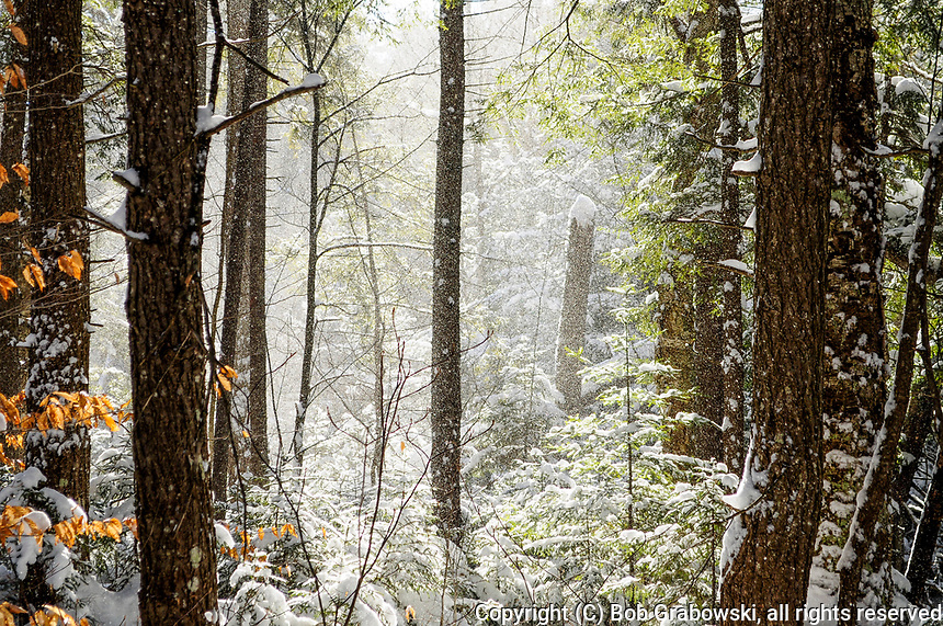 Falling snow and eastern hemlocks in the Silver Lake Wilderness Area in the Adirondack Mountains in New York State