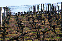 guyot double training vineyard chateau pey la tour bordeaux france