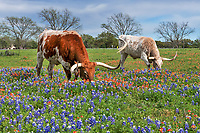 Longhorns in Wildflowers - Longhorns out in a pasture with bluebonnets and indian paintbrush wildflowers. Alway a fun catch when you have texas wildflowers and longhorns together in the Texas hill country. Now getting them to stay in the flowers is not easy as they seem to have a mind of their own. We have come to appreciate these impressive cattle for their hugh horns and mostly docile behavior. However on this trip one of them charged the fence right where my camera had been, I heard some huffing and foot stomping and pulled back just in the nick of time.   In all the longhorns we have photographed have been very docile so it was the first charge by what I believe to be a young bull. We were thankful that their was a fence. This is why you have to keep in mind that more people die from horse and cow in texas than pit bulls. Something to keep in the back of your mind at all times especially where there are bulls in the herd. This group appear to be mostly steers but I believe the white one is a young bull maybe explaining the charge and all the huffing and foot stomping that went on. In any case it will make us more careful as when have been around longhorns where there has been no fence between