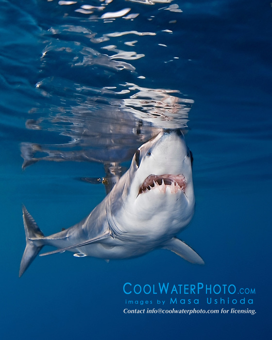 shortfin mako shark, Isurus oxyrinchus, very aggressive and the fastest swimmer of all shark species, San Diego, California, USA, Pacific Ocean