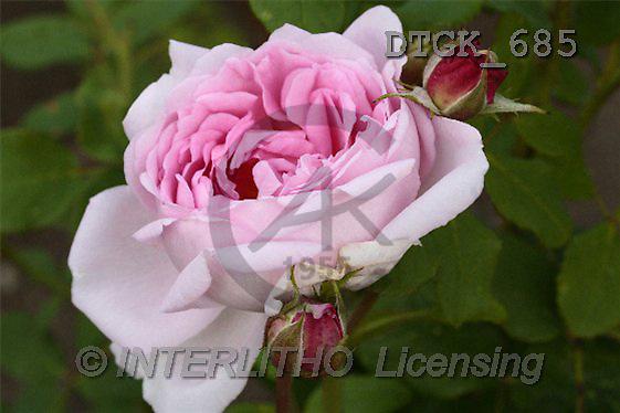 Gisela, FLOWERS, photos(DTGK685,#F#) Blumen, flores, retrato