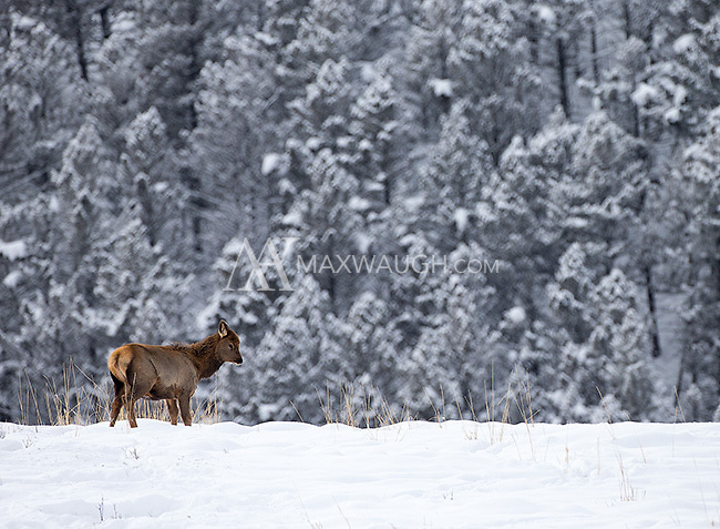 A young elk pauses while grazing in Yellowstone's northern range.