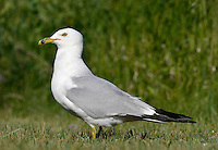 Ring-billed Gull - Larus delawarensis - summer adult