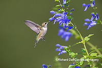 01162-15205 Ruby-throated Hummingbird (Archilochus colubris) at Blue Ensign Salvia (Salvia guaranitica ' Blue Ensign') in Marion County, IL