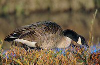 537216059 a wild canadian goose branta canadensis feeds on wild plants and grasses at bosque del apache national wildlife refuge in new mexico