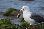 Western gull with crab