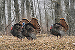 Eastern wild Turkey - Jakes