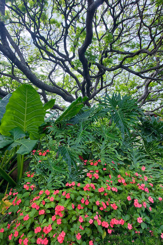 Impatiens and tree. Kauai, Hawaii
