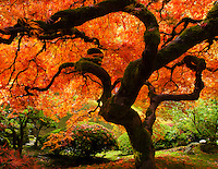 Gift card photo (set of 4) of Famous Japanese Maple in the Portland Japanese Garden with fall colors in leaves of bright red and orange with leaves on the ground