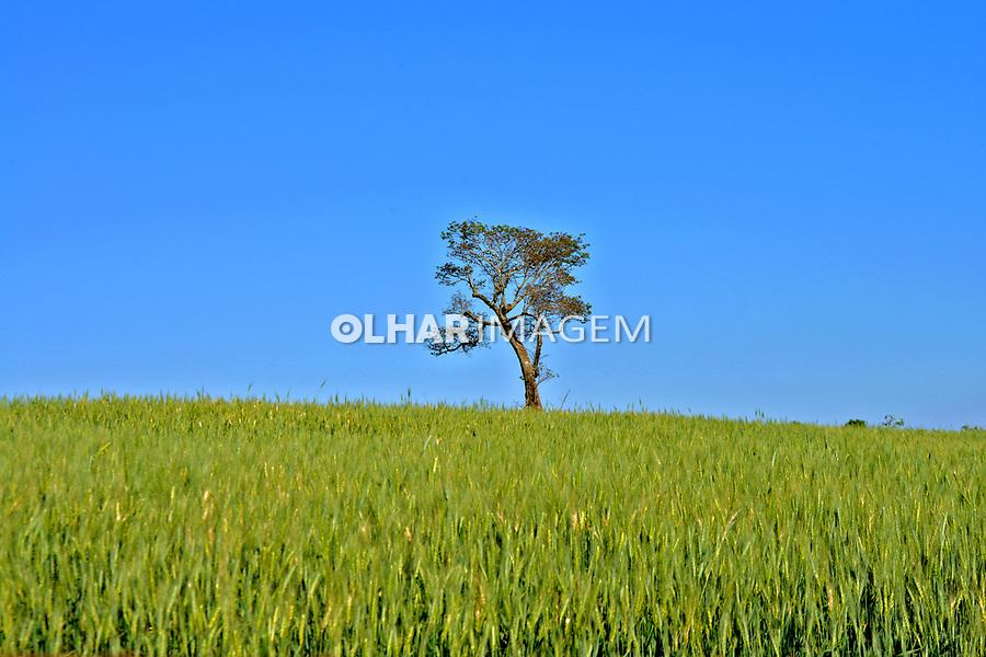 Plantação de trigo no município de Arapongas. Parana. 2015. Foto de Olga Leiria.