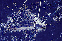 Sailfish brought to the stern with ropes while fishing in French Polynesia