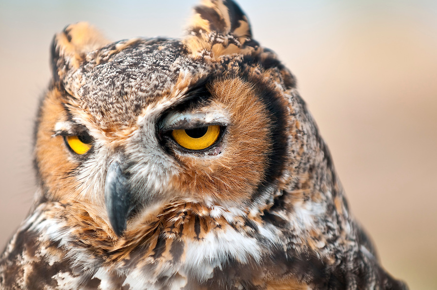 Portrait of Owl in natural environment, with detail and focus in the eye.