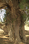 Israel, Southern Coastal Plain, Tamarisk tree by Tel Hasi