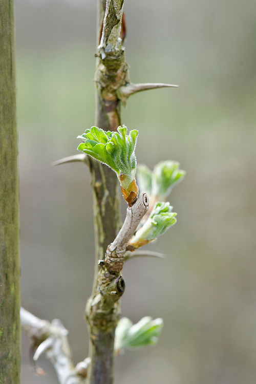 Buds breaking in spring on a 'Lancashire Lad' gooseberry cordon, mid March.