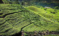 The rolling hills of tea create a luminous landscape. (Photo by Matt Considine - Images of Asia Collection)