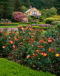 Shore Acres State Park, OR   <br /> A bed of roses (variety 'Playboy') blooming in the Rose Garden near the Garden House of the former Simpson Estate at Shore Acres Garden