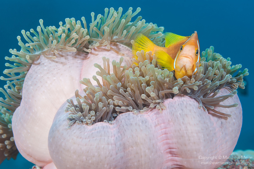 Maamendhoo Giri, Maamendhoo Island, Laamu Atoll, Maldives; a Blackfinned Anemonefish (Amphiprion nigripes) in a pink Magnificent Sea Anemone
