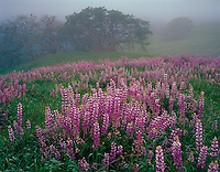 Redwood National Park, CA<br /> Riverbank lupine (Lupinus rivularis) on an open meadow in the Bald Hills with Oregon White Oak (Quercus garryana) in the distance and lifting fog