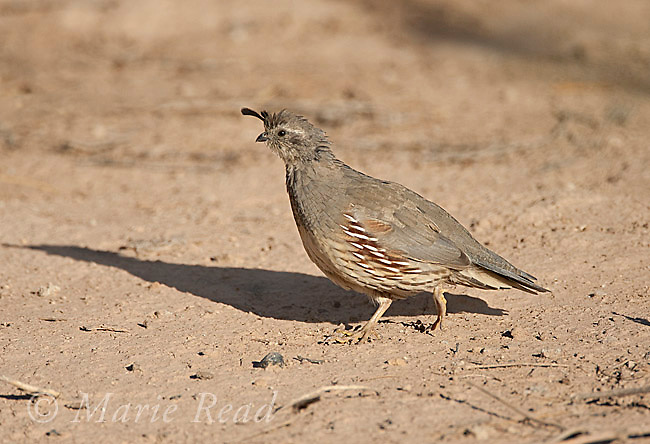 Gambel's Quail (Callipepla gambelii) female, Salton Sea National Wildlife Refuge, California, USA