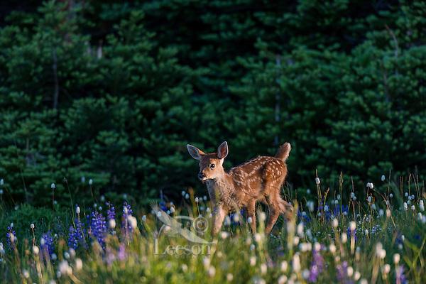 Columbian black-tailed deer (Odocoileus hemionus columbianus) fawn walking through subalpine meadow covered with wildflowers.  Pacific Northwest.  Summer.  Early morning.