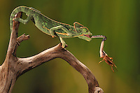 a veiled chameleon extends its high-speed tongue to catch a cricket