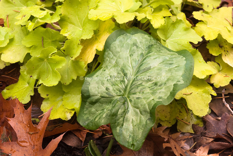 Foliage plants Arum italicum 'Eco Framed Picture' with Heuchera Citronelle with green and gold planting combination of leaves