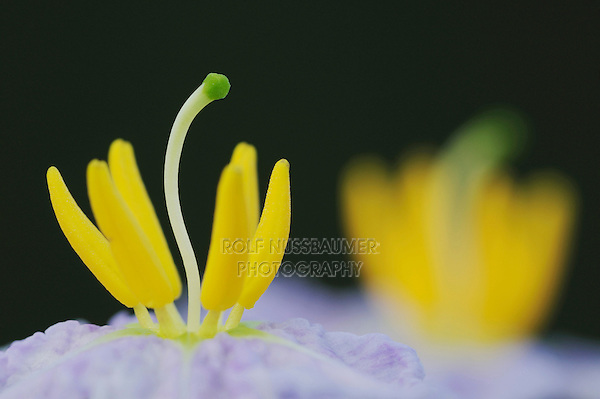 Silverleaf Nightshade (Solanum elaeagnifolium), stamen close up, Fennessey Ranch, Refugio, Coastal Bend, Texas, USA