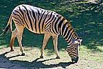 Animais. Mamiferos. Zebras (Equus zebra). SP. Foto de Juca Martins.