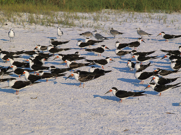 Black Skimmer, Rynchops niger,adults at beach, Fort Meyers, Florida, USA, Dezember 1998