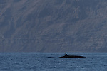 Guadalupe Island, Baja California, Mexico; a Bryde's whale breaks the surface for a breath of air in early morning light