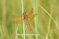 06612-00113 Golden-winged Skimmer dragonfly (Libellula auripennis) male perched near wetland, Marion Co., IL
