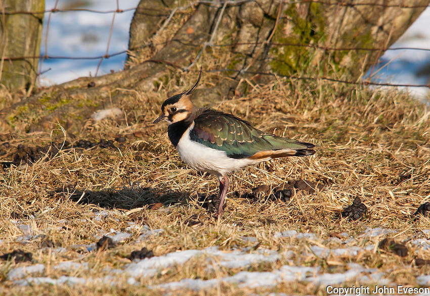 Lapwing in winter, Whitewell, Lancashire.