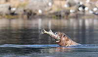 A sea lion chomps a salmon.