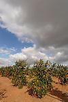 Israel, Shephelah region. Orange grove by route 353