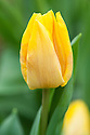 Tulipa 'Sunny Prince'. Single Early Group