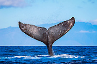 humpback whale, Megaptera novaeangliae, fluke, Lanai, Hawaii, USA, Pacific Ocean