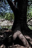 Arbol con forma extraña. Tree<br /> IV Festival Maria Bonita en Quiriego, Sonora.