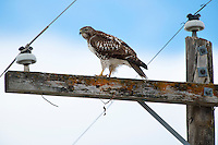 A Red-tailed Hawk rests on a telephone pole on Reese Creek Road in Belgrade.