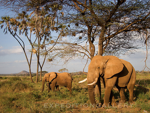 Elephants under doum palms in Samburu National Reserve, Kenya.