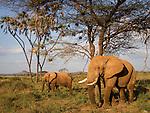 Elephants under doum palms in Samburu National Reserve, Kenya.