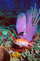squirrelfish, Holocentrus rufus, azure vase sponge, Callyspongia plicifera, scratchy sea whip, Moricea muricata, bicolor damselfish, Eupomacentrus paritus, giant feather duster, red rope sponge, and a sea urchin, Saint Vincent, Saint Vincent and the Grenadines, Caribbean Sea, Atlantic Ocean
