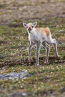 New born caribou calf of the Western arctic caribou herd, Utukok uplands, National Petroleum Reserve Alaska, Arctic, Alaska.
